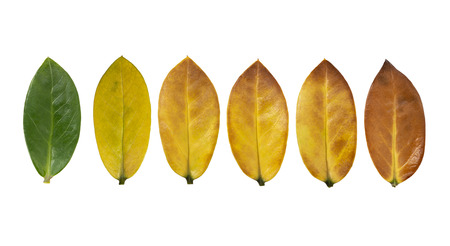 Leaves color change on white background Imagens