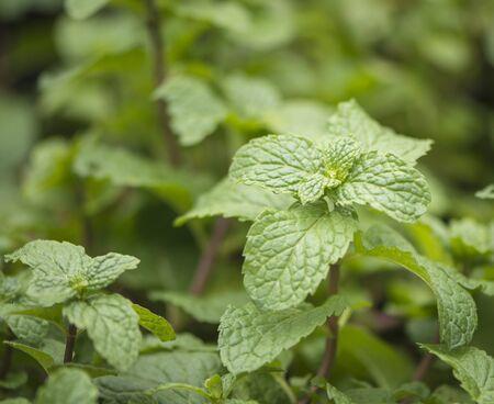 Planting mint leaves in vegetable plots.