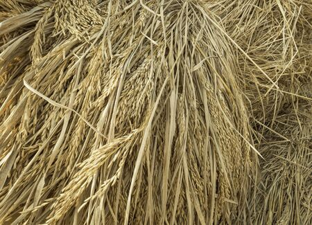 Paddy after harvest
