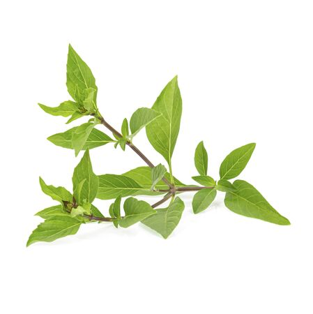 Fresh herbs. Green basil Isolated on white background
