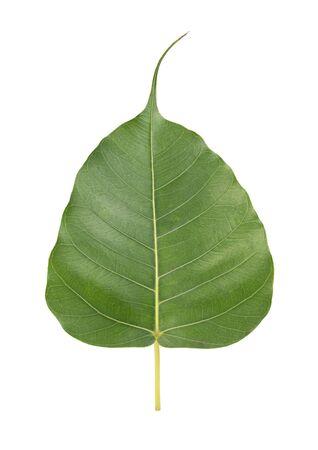 bodhi leaf  on white background Stock Photo