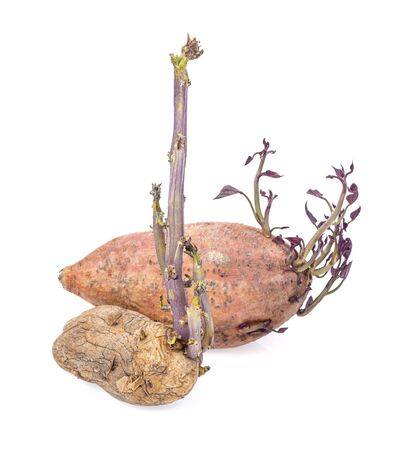 Seed potatoes and Sweet potato with the growth of natural shoots Stock Photo