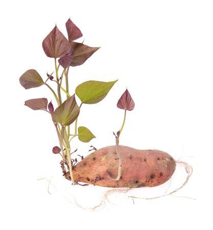 Sweet potato shoots on a white background