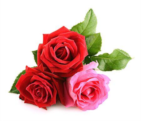 Rosa rossa isolata su fondo bianco
