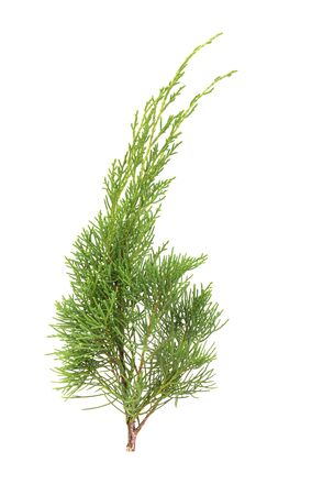 Juniperus Chinensis  isolated on white background