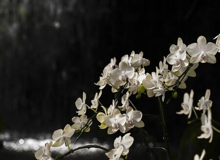 Beautiful Phalaenopsis Orchid, Fresh White Orchid that bloom With a blurred waterfall background in the shadows