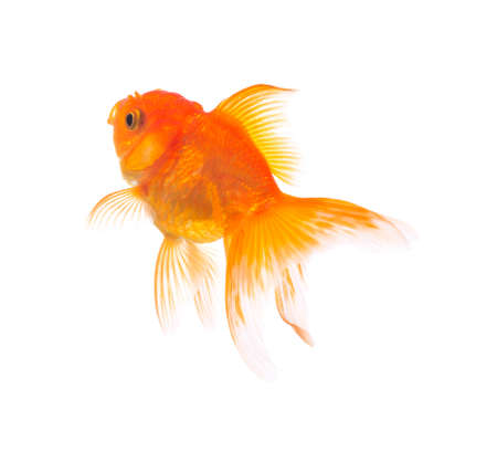 gold fish on white background Banque d'images