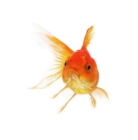 fish gold on white background