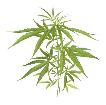 Marijuana trees for medical use are used separately on a white background.