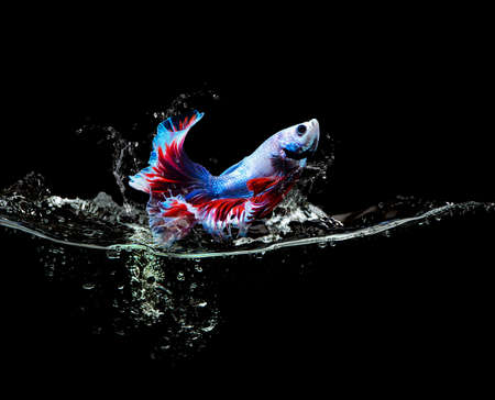 Siamese fighting fish or colored fish jumping out of water splash