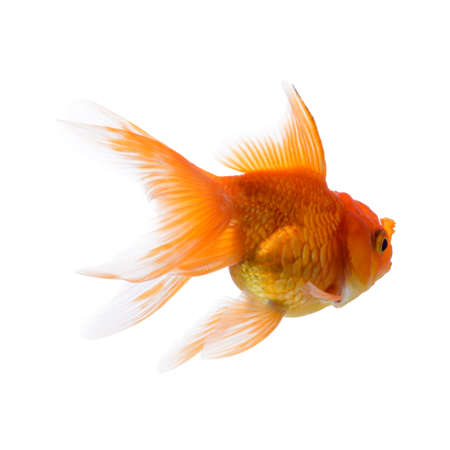 Goldfish isolated on white background Banque d'images