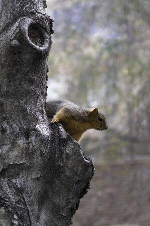 Eastern fox squirrel sitting on a tree in California
