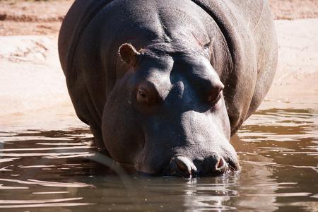 hippopotamus Stock fotó