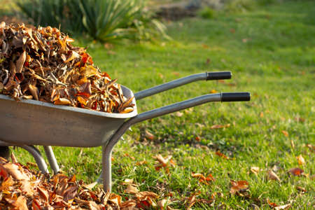 wheelbarrow full of dried leaves, cleaning foliage in the garden 写真素材