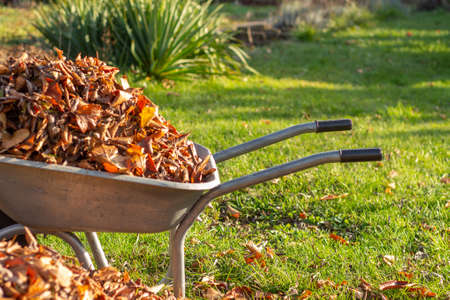 wheelbarrow full of dried leaves, cleaning foliage in the garden Banco de Imagens