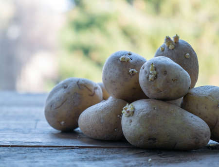 Sprouted potatoes on a wooden table in the garden.