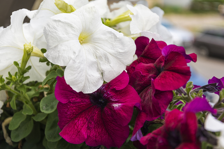 Flowers of white and red petunia Stock Photo