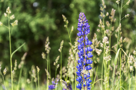 longterm: Among the grass grows a blue flower meadow lupine