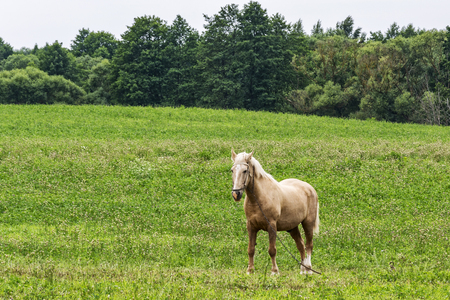 A horse tied on a chain stands in a field with green grass Stock Photo