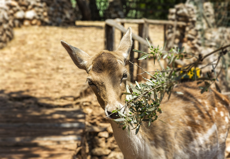 The female of the young deer eats the leaves of the olive branch Stock Photo