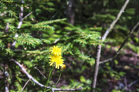 hieracium: Two yellow flowers of the Hawk, a perennial herbaceous plant of the family of astrov