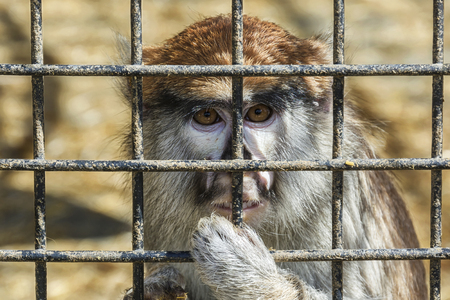 Wild animals. Monkey with a sad look sits behind a metal lattice, close-up