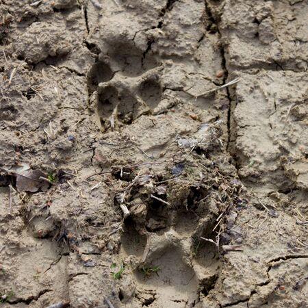 dog footprints imprinted in the mud