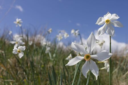 close up photo of a daffodil mountain flower in the Italian Alps Stockfoto