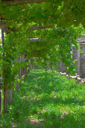 Italy, Asti. bunches of raisins Moscato wine grow in the vineyard 写真素材