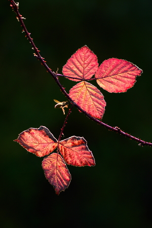 iluminado a contraluz: Backlit leaves of bramble in autumn