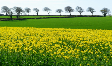 Rapeseed field with row of trees on a horizon in East Devon, England Stock Photo