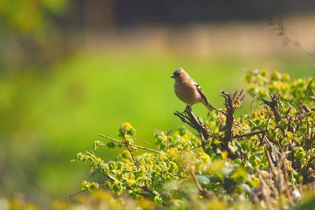 Common chaffinch (Fringilla coelebs) in springtime. Devon, UK