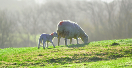 Sheep and lamb grazing on a farmland in East Devon, England