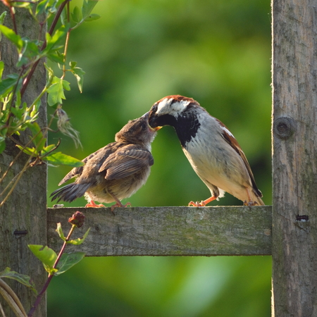 Adult sparrow feeding juvenile on a wooden fence in garden