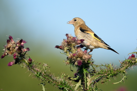 Greenfinch eating wild thistle flowers in Seaton Wetlands, Devon