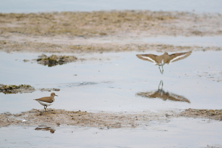 waders: Common sandpipers feeding in Seaton Wetland, Devon