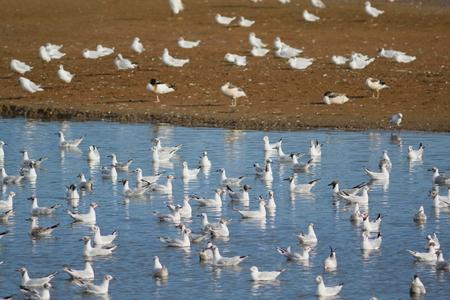 シートンの湿地、デヴォンでブラック ホール沼で水鳥の群れ
