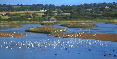 Flock of waterbirds in Black Hole Marsh in Seaton Wetlands, Devon