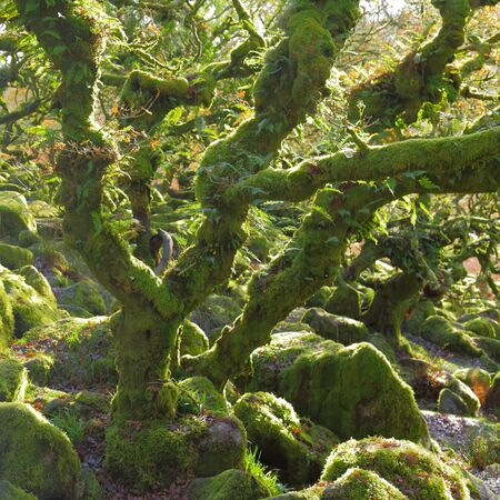 Ancient forest Wistman's Wood near Two Bridges in Dartmoor, Devon. Magical mysterious woodland with an eerie feel. Hundreds of years old twisted, moss-covered dwarf oak trees Stock Photo