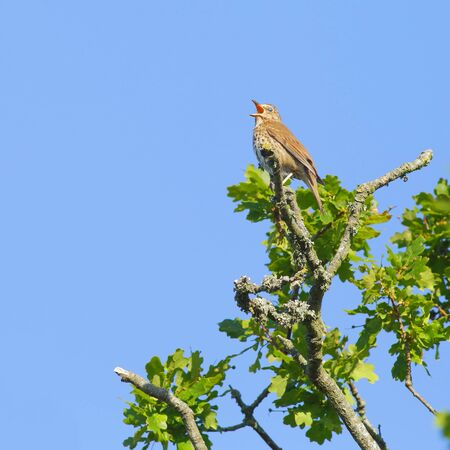 Song thrush singing on the oak tree in Seaton Wetlands, Devon