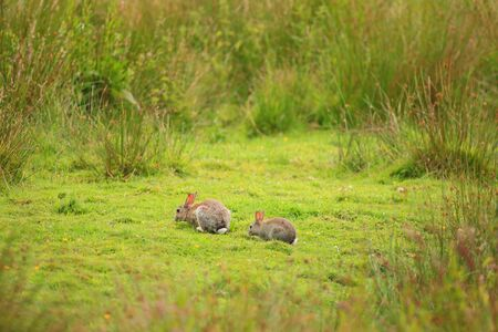 Two rabbits eating grass in the field of Seaton Wetlands, Devon