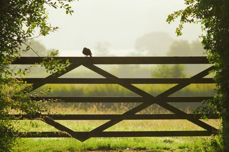 Blackbird perching on the wooden gate of the farmland in morning Stock fotó