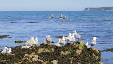Flock of gulls perching on the rock in South Devon