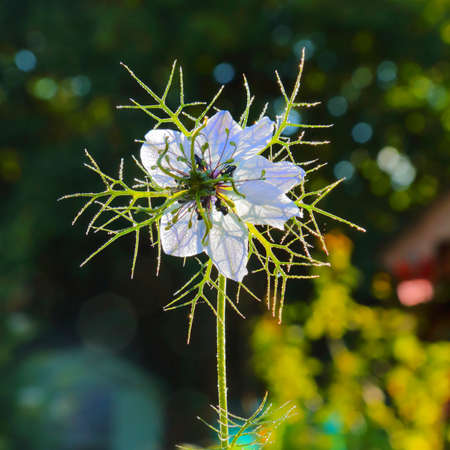 Close-up of white flower Nigella (Nigella damascena) also known as love-in-a-mist Stock fotó