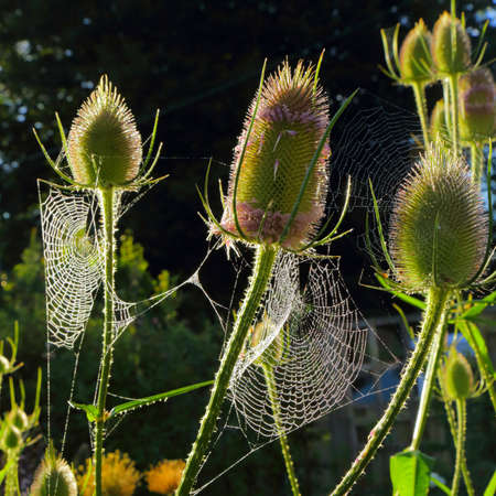 Flowering heads of teasel covered in spider webs backlit with morning sunlight