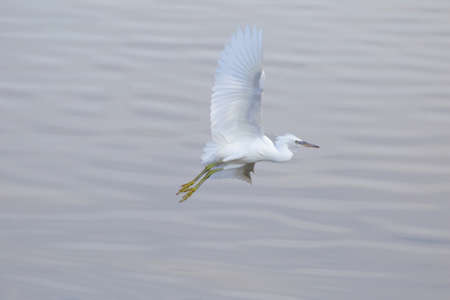 Egret in flight above the lake in Seaton Wetlands Nature Reserve, Devon