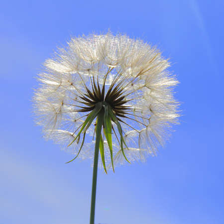 Close-up of dandelion seedhead against blue sky