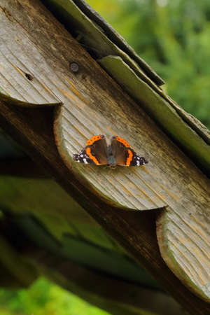 Vanessa atalanta or the red admiral perching on the wooden surface