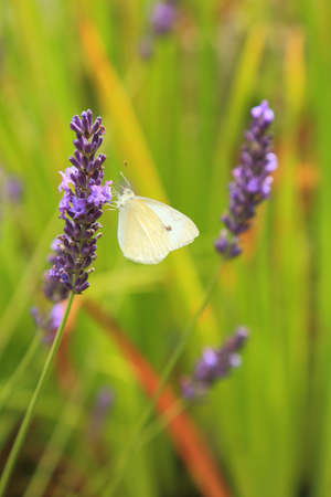 Pieris rapae commonly known as small cabbage white butterfly pollinating lavender flower in garden Stock fotó