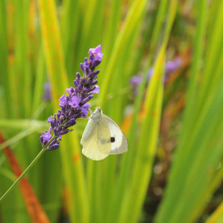 Pieris brassicae, the large white, also called cabbage butterfly pollinating lavender flower